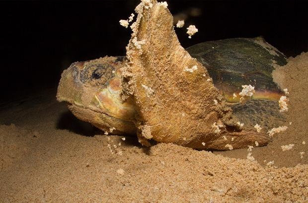 Recomeça o ciclo da vida: as tartarugas voltam para desovar nas praias do Brasil