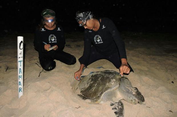 Tartarugas marinhas retornam ao litoral do Brasil para reprodução