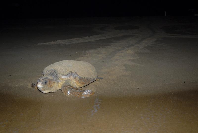 Notícias - Temporada 2012/2013: tartarugas marinhas voltam às praias para desovar  D09_A_480