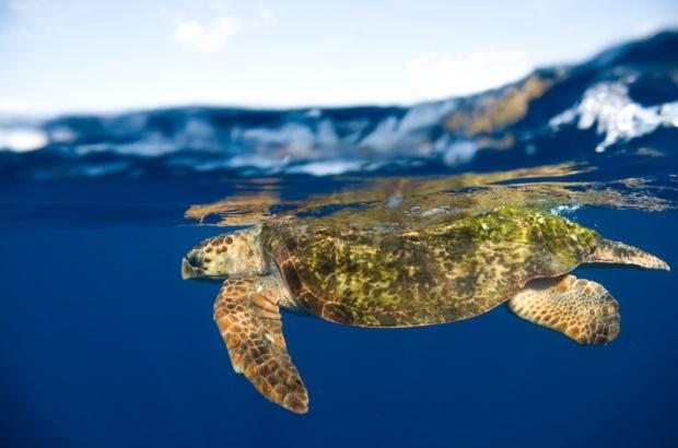 Pesquisa sobre hibridismo em tartarugas marinhas revela importantes informações para a conservação destes animais