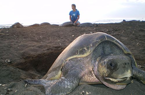 Brasil, Nicarágua e Costa Rica trocam experiência sobre tartaruga oliva