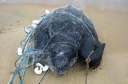 Mais uma tartaruga gabonesa aparece no litoral brasileiro