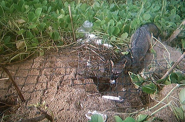 Causas e consequências da destruição de ninhos de tartaruga por raposas no litoral de Sergipe