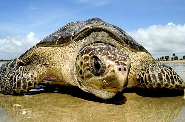 Ventos NE e maré cheia trazem mais desovas de oliva às praias de Sergipe
