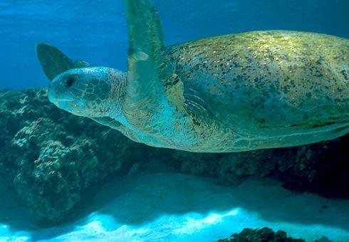 Termina agora temporada de desova nas ilhas oceânicas