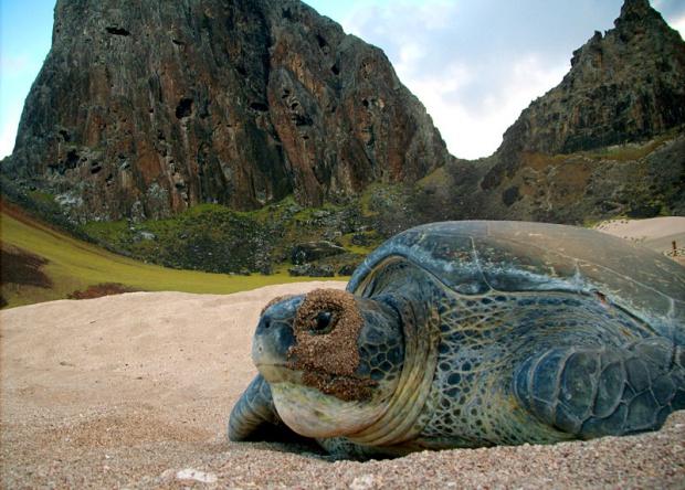 A presença do Tamar em Trindade, berçário da tartaruga-verde