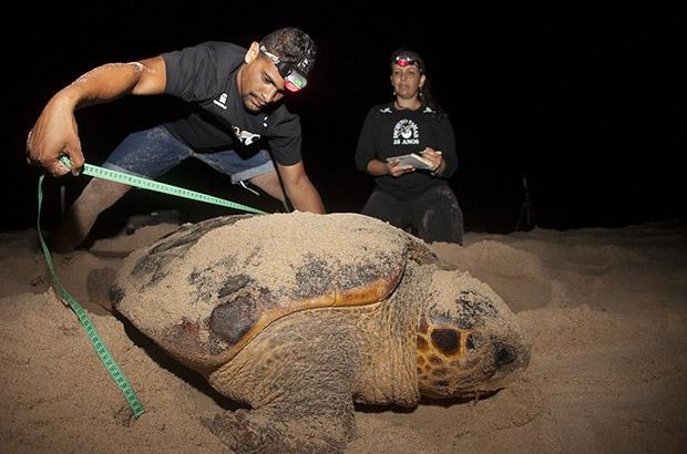 Programa Intensivo de Marcação e Recaptura acompanha tartarugas marinhas há 8 anos