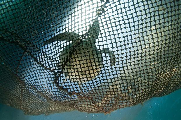Tendências na abundância de tartaruga-verde (Chelonia mydas)