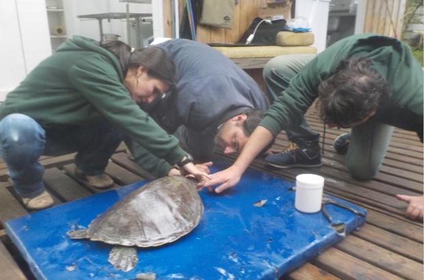 Pesquisa avalia alterações fisiológicas associadas à captura incidental de tartarugas na pesca oceânica