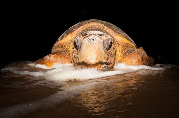 Por quanto tempo uma        Tartaruga-Cabeçuda pode se reproduzir?