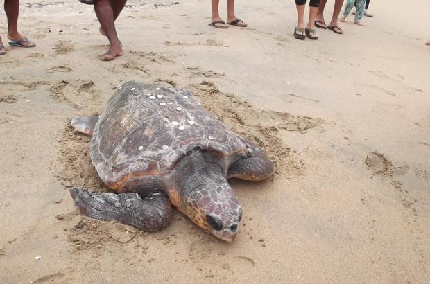 Cabeçuda de 115 kg reabilitada em Ubatuba já está de volta ao mar