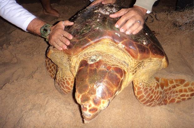 Rede de pesca quase faz mais uma tartaruga vítima no RJ