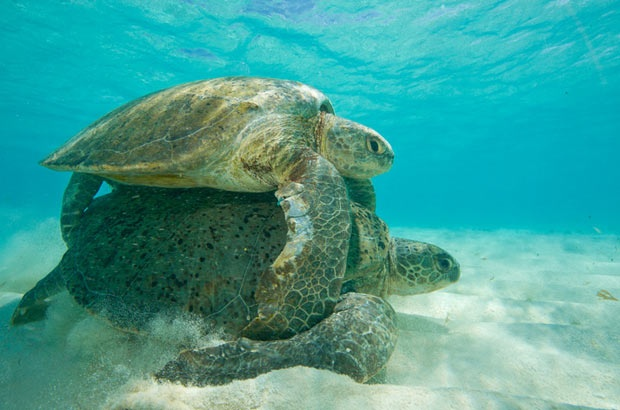 É promissora a temporada reprodutiva das tartarugas-verdes em Noronha