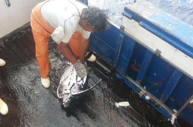 Encontro de tartarugas-de-couro juvenis surpreende pescadores