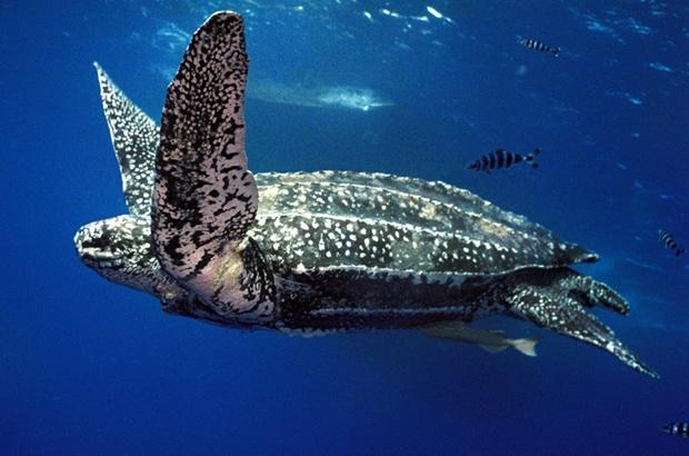 A maior tartaruga marinha de todas