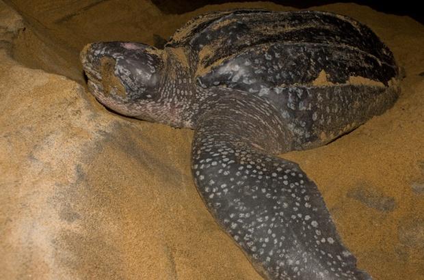 Espírito Santo tem a maior concentração de desovas da tartaruga gigante