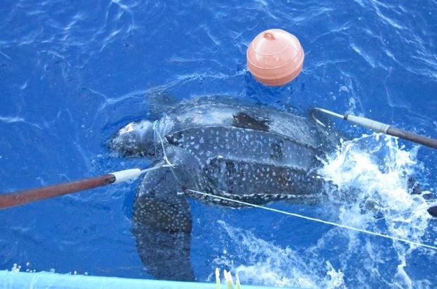 Tamar e Albatroz viabilizam estudo gen�tico de tartarugas de couro em alto mar