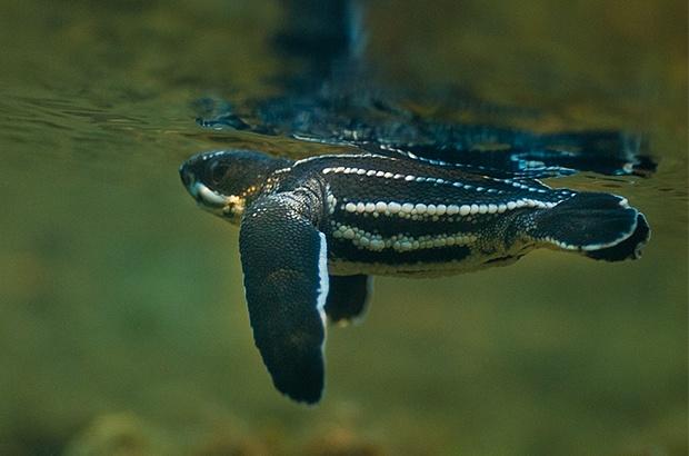 Tartarugas de couro nascem na Bahia