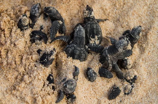 Estudo investiga impactos de mudanças climáticas em tartarugas marinhas
