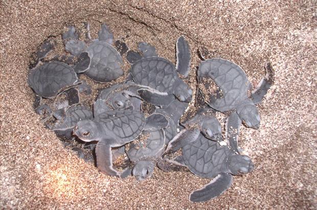 Recorde de ninhos de tartaruga-verde protegidos em Noronha