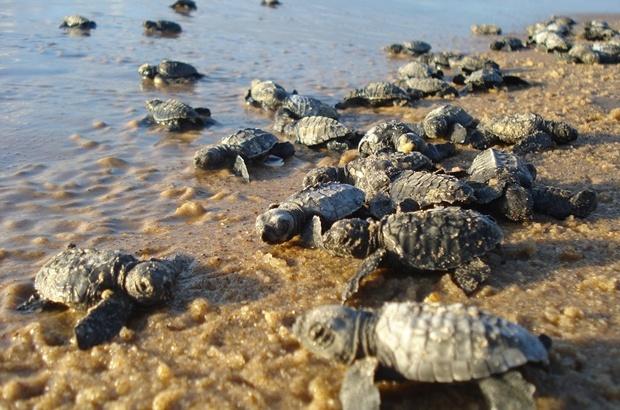 Para onde vão as tartaruguinhas que nascem na Bahia?
