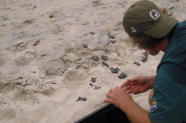 Ninho de cabe�uda encontrado no litoral norte de S�o Paulo, onde as desovas s�o espor�dicas