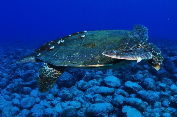 A importância dos machos na pesquisa e conservação das tartarugas marinhas