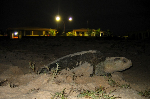 Saiba quais são as principais ameaças no verão à sobrevivência das tartarugas marinhas