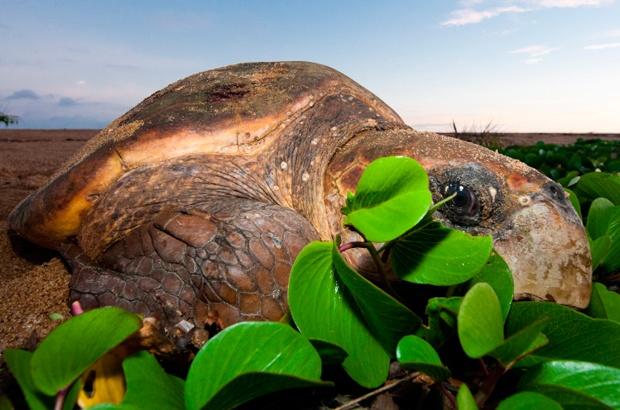 Temporada 2012/2013: tartarugas marinhas voltam �s praias para desovar