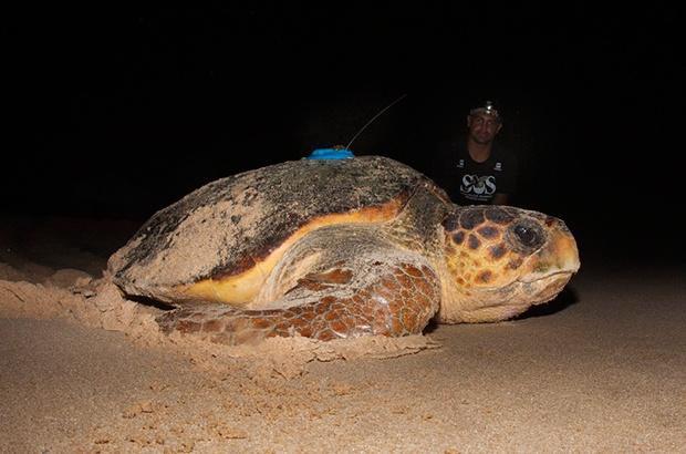 Tartaruga que retorna anualmente é aguardada nesta temporada de reprodução