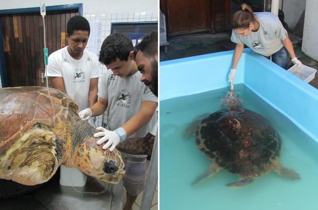 Resgatado no litoral de São Paulo um macho de tartaruga marinha