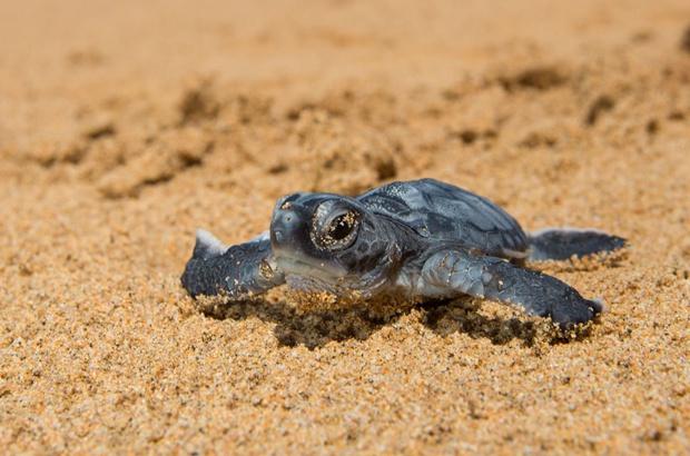 Balanço da temporada de reprodução das tartarugas em Noronha/PE e Trindade/ES