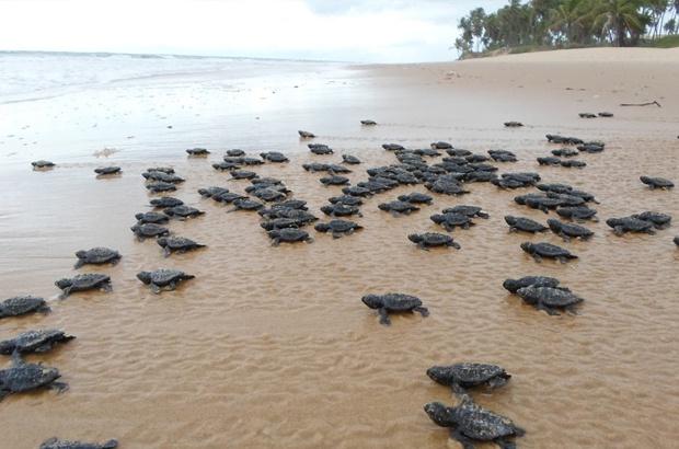 Nova geração de tartarugas marinhas ocupa as praias brasileiras