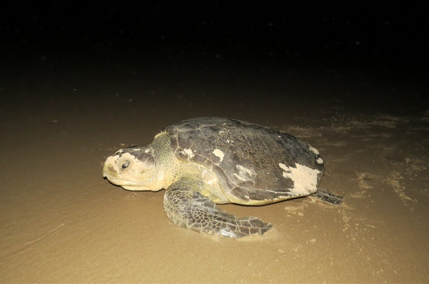 TAMAR Aracaju comemora 15 anos com samba e homenagem à tartaruga-oliva