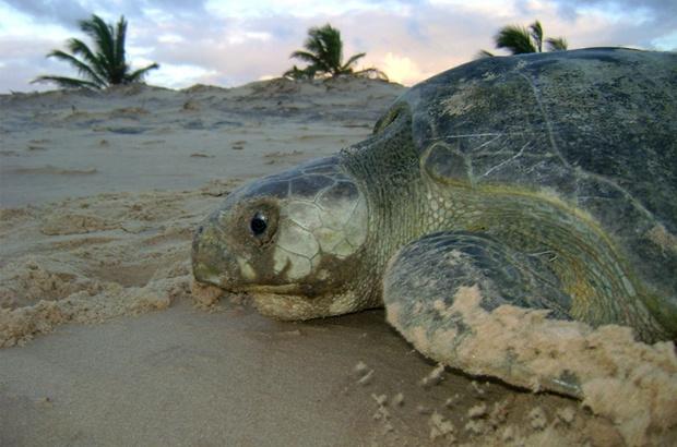 Costa de Sergipe é área prioritária para conservação da tartaruga oliva
