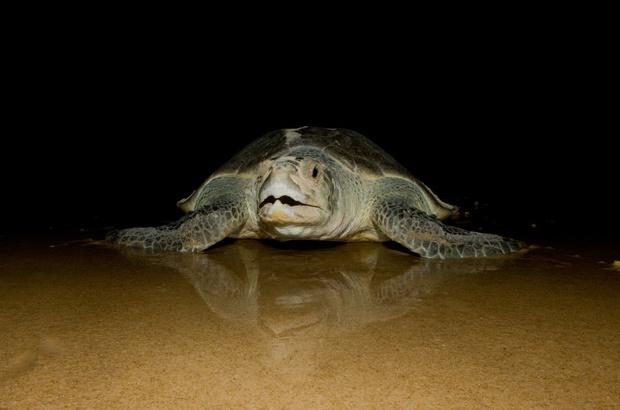 Tartaruga oliva: fidelidade às praias baianas e sergipanas