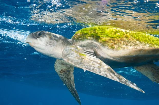 Substituição da pesca de camarão por atum reduz captura de olivas em Sergipe
