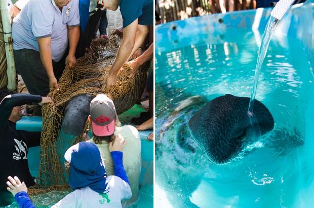 Peixe-boi resgatado no sul da Bahia passa por tratamento no Tamar