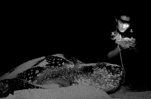 Pesquisa analisa dados reprodutivos de tartarugas de couro no Espírito Santo