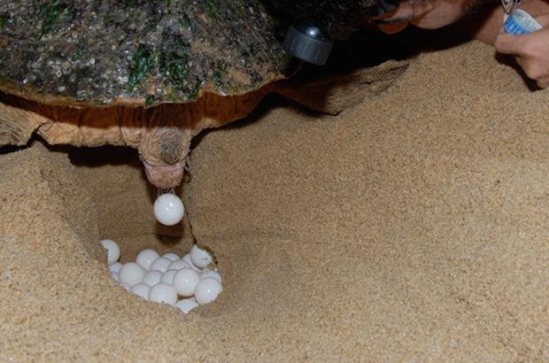 Avalia��o do PAN Tartarugas Marinhas monitorou 65 a��es de conserva��o e pesquisa no Brasil