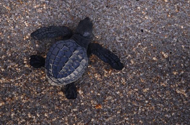 TAMAR alerta para crescimento da predação de tartarugas marinhas por raposas