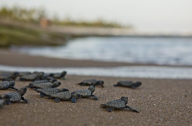 Óleo nas praias do Nordeste: atuação do Projeto Tamar para proteger as tartarugas marinhas
