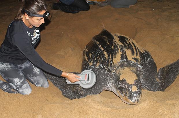 PIT tags: pesquisadores do Projeto Tamar testam mais um método de marcação de tartarugas marinhas