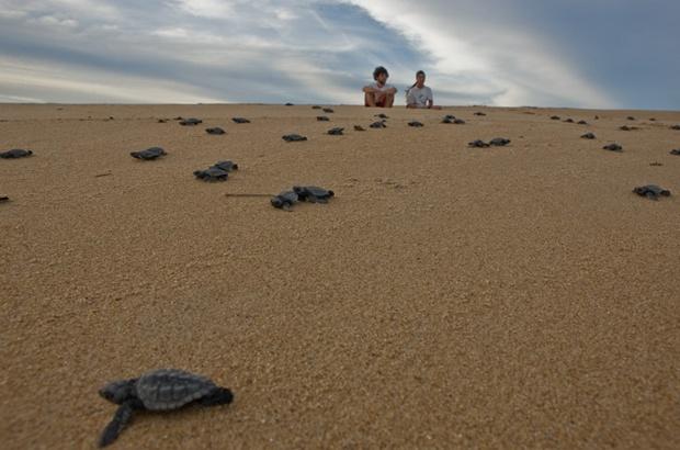 Identificação das praias que produzem machos de tartaruga-cabeçuda no Atlântico Sul