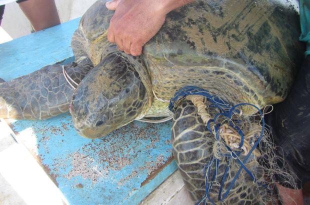 Macho de tartaruga-verde sobrevive após ficar preso a restos de rede de pesca