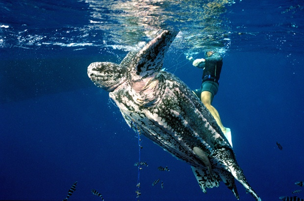 Pesquisa identifica zonas de risco para as tartarugas de couro no Oceano Atlântico