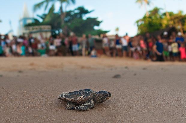 Pesquisadores comemoram marca inédita para a conservação das tartarugas marinhas no Brasil