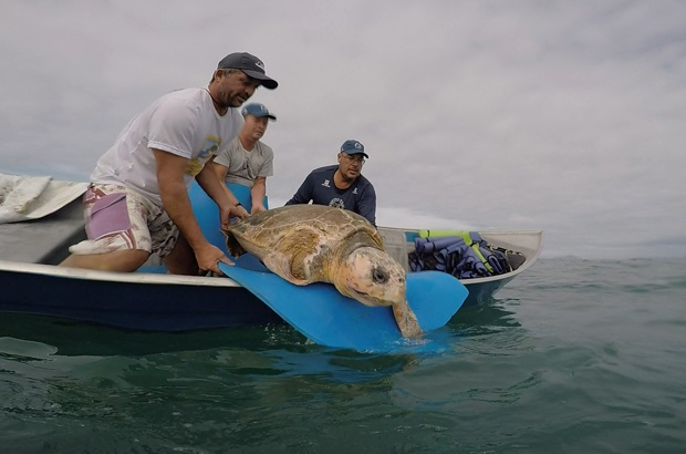 Tartaruga cuidada pelo TAMAR Ubatuba voltou para o mar