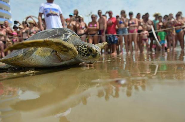 Soltura em Navegantes mobilizou amigos das tartarugas sobreviventes de rede de pesca