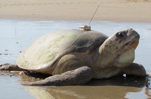 Tartarugas monitoradas por sat�lite h� mais de 100 dias ainda emitem sinais